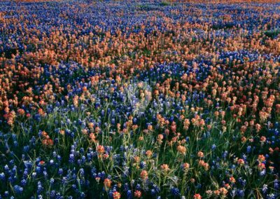 wildflowers in Texas Hill Country, Texas